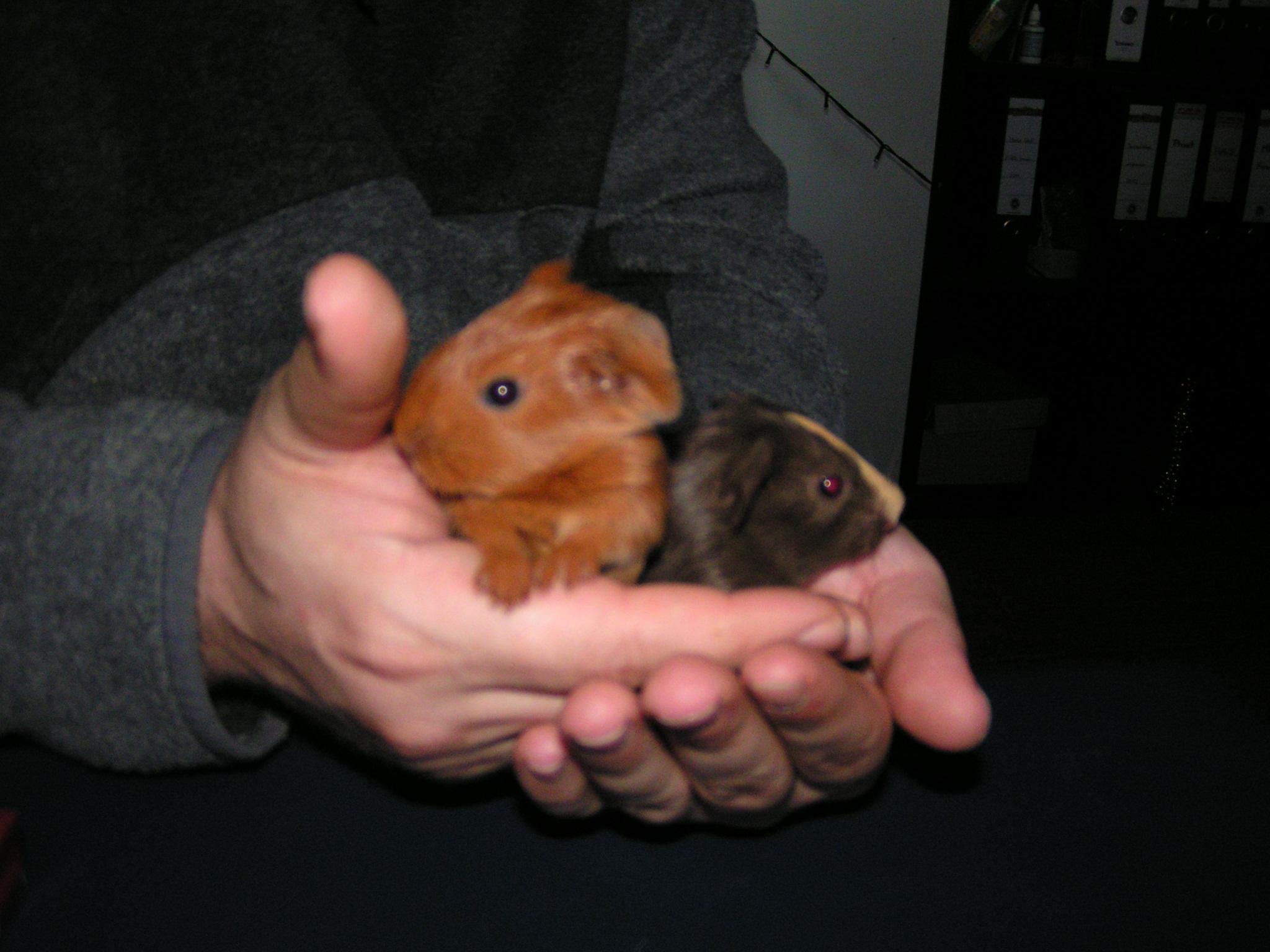 Meerschweinchen-Babys