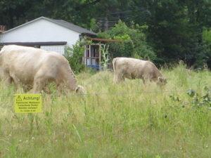 Kühe mit krausem Fell